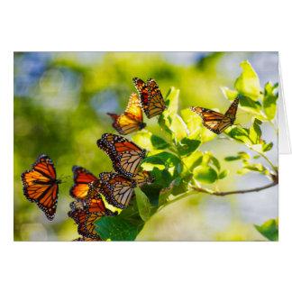 Monarkfjärilar OBS Kort