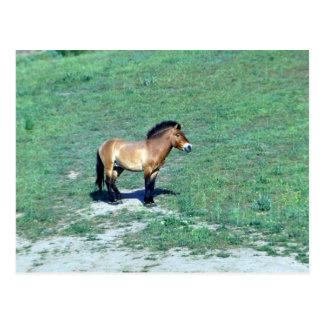 Mongolisk (Przewalskii) vildhäst Vykort