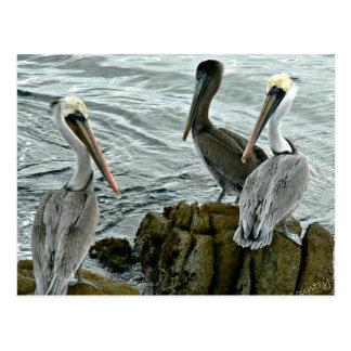Monterey pelikan vykort
