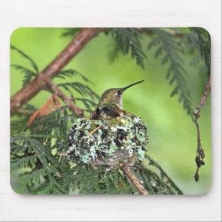 Morhummingbirden bygga bo på mus matta