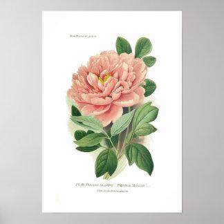 Moutan Paeonia (pionen) Poster