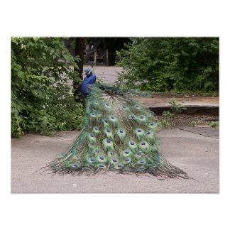 Mr.Peacock rufsar hans fjädrar Affisch