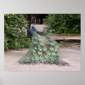 Mr.Peacock rufsar hans fjädrar Poster