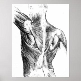 Muskler för baksida för vintageanatomi | (circa poster