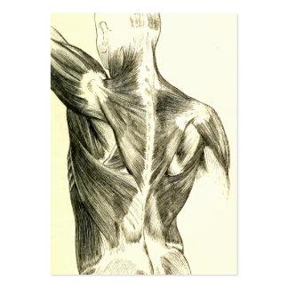 Muskler för baksida för vintageanatomi | (circa set av breda visitkort