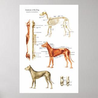 Muskulös och Skeletal anatomiaffisch för hund Poster