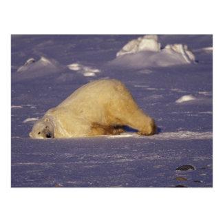 NA Kanada, Manitoba, Churchill, polar björn Vykort