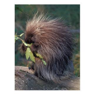 NA USA, Alaska, Captive porcupine Vykort