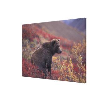 NA USA, Alaska, Denali NP. En kvinnlig grizzly Canvastryck