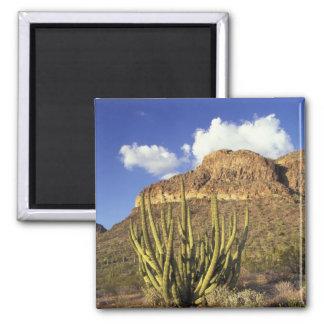 NA USA, Arizona. Organ leda i rör kaktusmedborgare Magnet