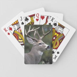 NA USA, staten Washington, Vit-tailed hjort, Spelkort