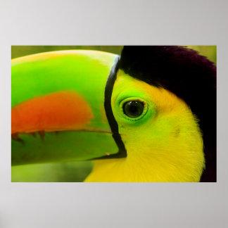 Nära övre för Toucan ansikte, Belize Poster