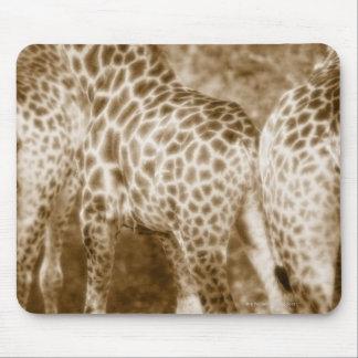 Närbild av den södra giraffKruger nationalparken Musmatta