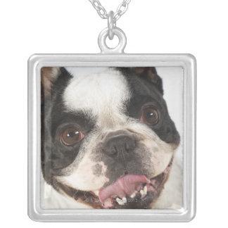 Närbild av en Boston Terrier som ut klibbar dess Silverpläterat Halsband