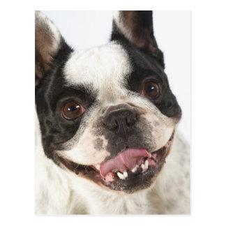 Närbild av en Boston Terrier som ut klibbar dess Vykort
