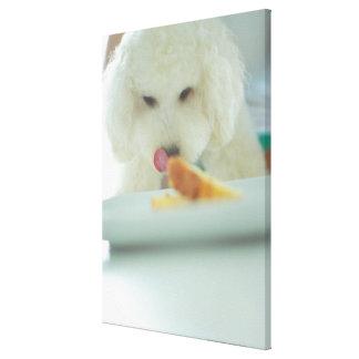 Närbild av en miniatyrpudel som äter mat canvastryck