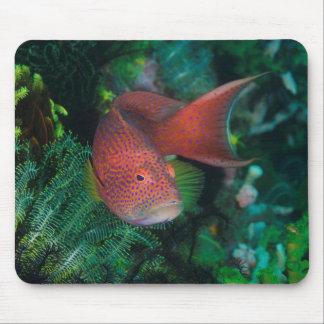 Närbild av korallforellen musmatta