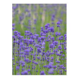 Nätt lavendelblommor vykort