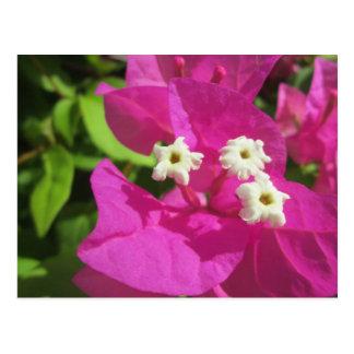 Nätt purpurfärgad Bougainvillea Vykort