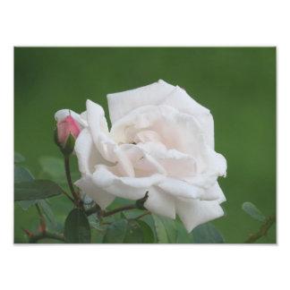 Nätt rosa roskonsttryck fototryck
