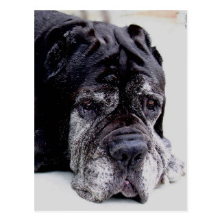 neapolitan mastiff.png vykort