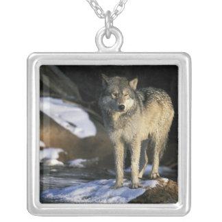 Nordamerika USA, Minnesota. Varg (Canis Halsband Med Fyrkantigt Hängsmycke