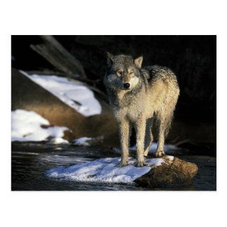 Nordamerika USA, Minnesota. Varg (Canis Vykort