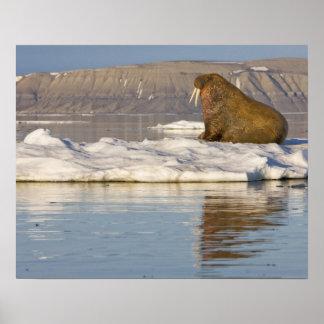Norge Svalbard, Edgeoya ö, valross Affischer