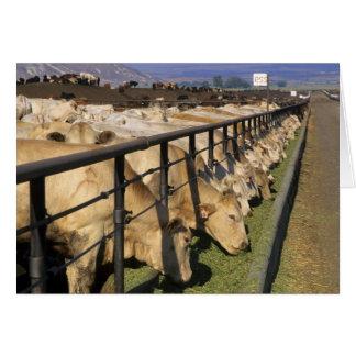 Nötkreatur äter på en feedlot i Grandview, Idaho. Hälsningskort