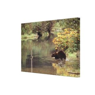 Nötkreatur - björnar - Salmon River Grizzly Canvastryck