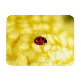Nyckelpiga på en gul chrysanthemum magnet