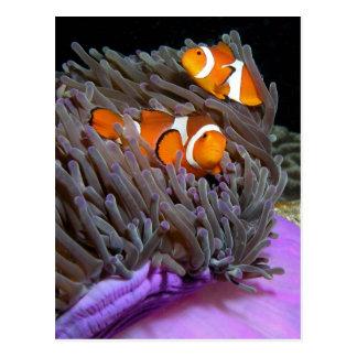 Ocellaris Clownfish Vykort