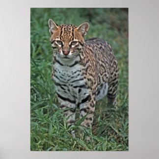 OCELOTLeopardus pardalis) CENTRAL AMERICA Poster