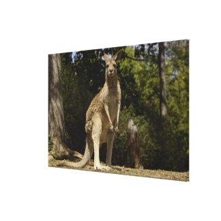 Oftast sett i Australien, östlig grå färg Canvastryck