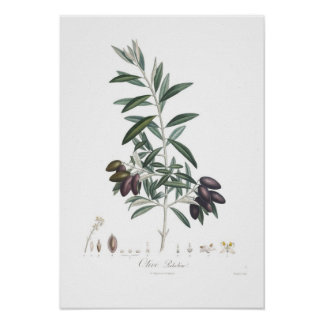 Oliv Oleaeuropaea Poster