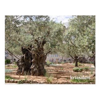 Olivgröna träd i Gethsemane, Jerusalem, Israel Vykort