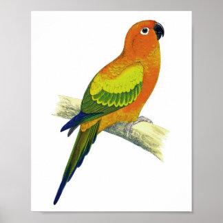 Orange antikt fågeltryck för papegoja No.10 Poster