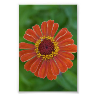 Orange fotografi för blommigt för Zinna blommablom