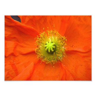 Orange tryck för vallmoblommafoto fototryck