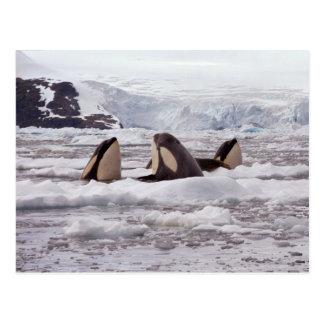 OrcasSpyhopping vykort