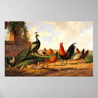Påfågel och hönor poster