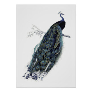 Påfågel på en gren - vintageillustration poster
