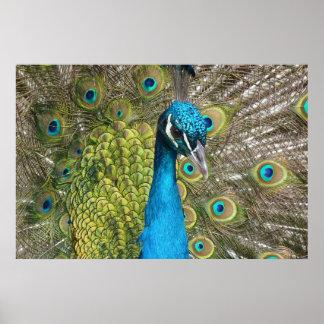 Påfågelfågel med härliga fjädrar print