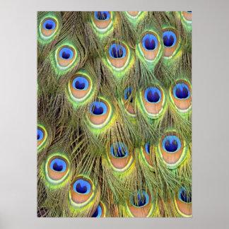 Påfågelsvanaffisch Posters