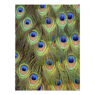 Påfågelsvanaffisch Print