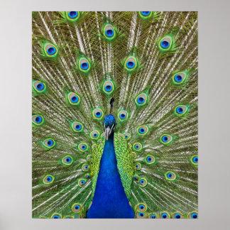 Påfågelvisning dess fjädrar, som del av a posters