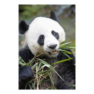 Panda som äter bambuskott Alluropoda 2 Fototryck