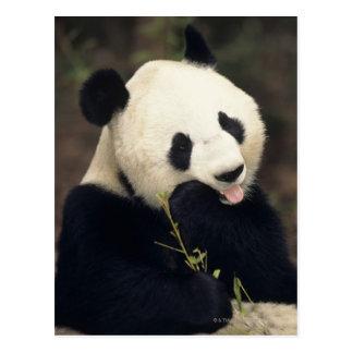 Pandabjörn, (närbilden) vykort