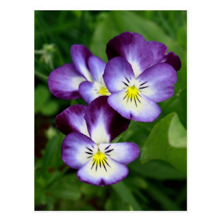 Pansy` s Familly Vykort