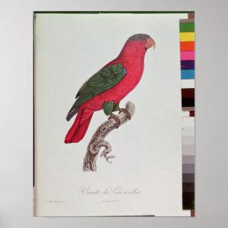 Papegoja: Lory eller försett med krage Affisch